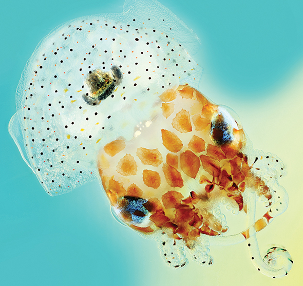 The Hawaiian bobtail squid harbors a bioluminescent bacterium. Because the squid's light organ is composed of mucosa, new insight regarding how the bacterium probably adapted to its host could help illuminate our understanding of chronic infection in humans.