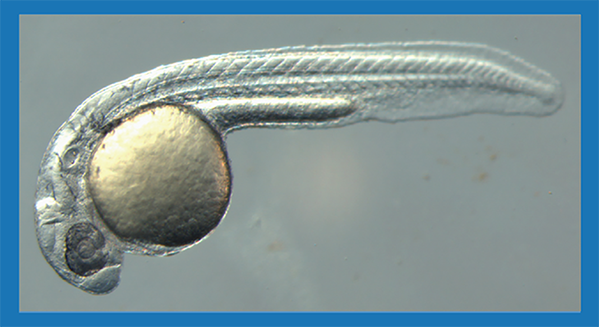 Alex Deiters and Michael Tsang have added a 21st amino acid to zebra fish. (An altered embryo is shown here.) They employed a technique Deiters developed that gives researchers more control over the gene-editing technology CRISPR-Cas9. Such work might one day help patients with genetic disorders like sickle cell disease or cystic fibrosis.  Image courtesy Michael Tsang