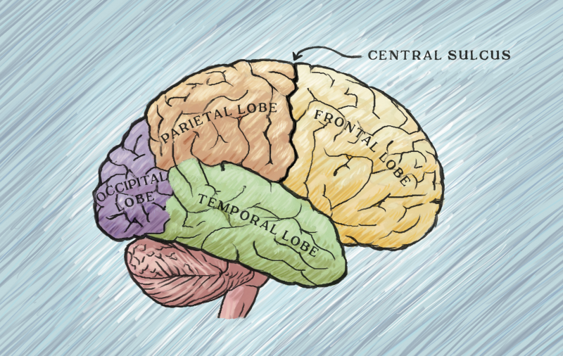 It turns out that the central sulcus does not neatly divide brain function, as the textbooks say. (Illustration by Michelle Leveille)